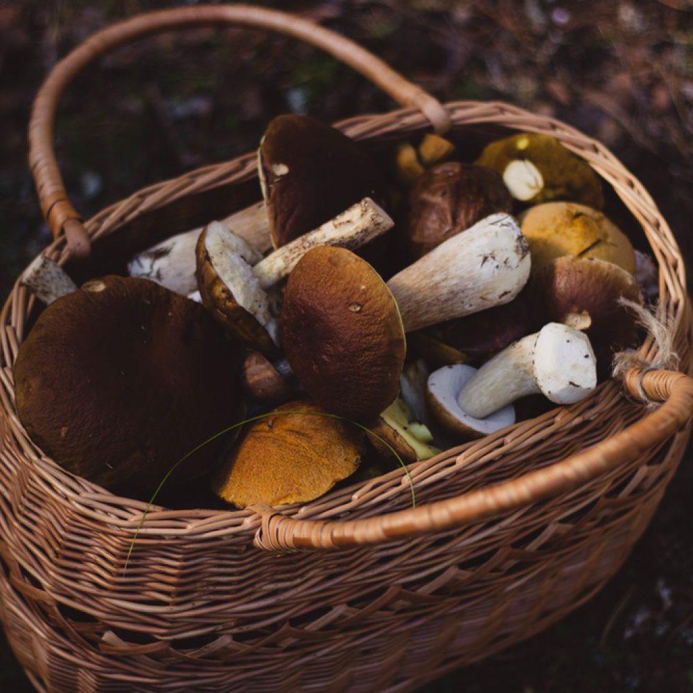 herbst-pilze-sammeln
